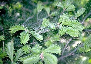 The Balsam Fir (Abies Balsamea)